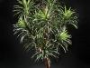 8' Yucca head on Manzanita