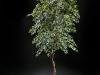7' Olive tree on Manzanita