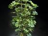 6' Baby Schefflera 2 stems