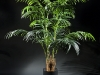 6' Kentia palm 2 stems