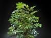 4' Baby Schefflera 3 stems