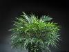 2' Phoenix Palm 3 stems