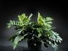 20 inch Zambia Zambafolia 2 stems